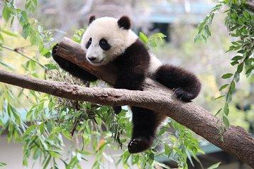 Xiao Liwu in San Diego Zoo