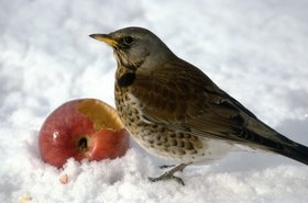 apple wildlife bird fieldfare thinkstock photos axel ellerhorst