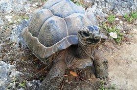 Aldabra giant tortoise (Aldabrachelys gigantea) at Francois Leguat Reserve