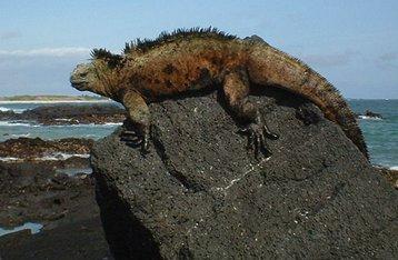 Galapagos_iguana_Wikipedia_Mar 2021_small.jpg