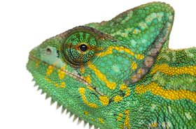 Suse mascot, a green chameleon
