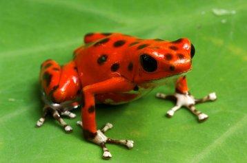 Venomous Amazon dart frog