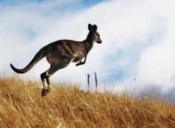 Kangaroo cloud australia