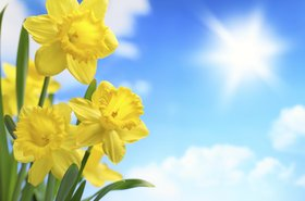 daffodils bluesky thinkstock