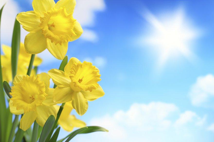 daffodils bluesky thinkstock