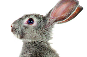 rabbit lead squareish