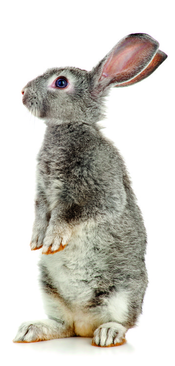 rabbit thin