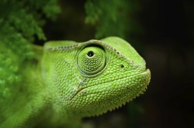 Green chameleon - the mascot of SUSE